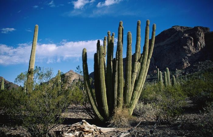 Если человек остался без воды в пустыне, то можно напиться из кактуса