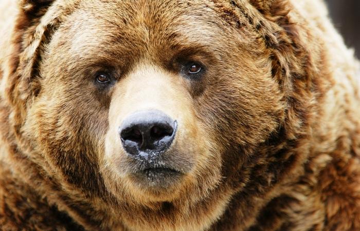 При угрозе со стороны медведя нужно притвориться мертвым