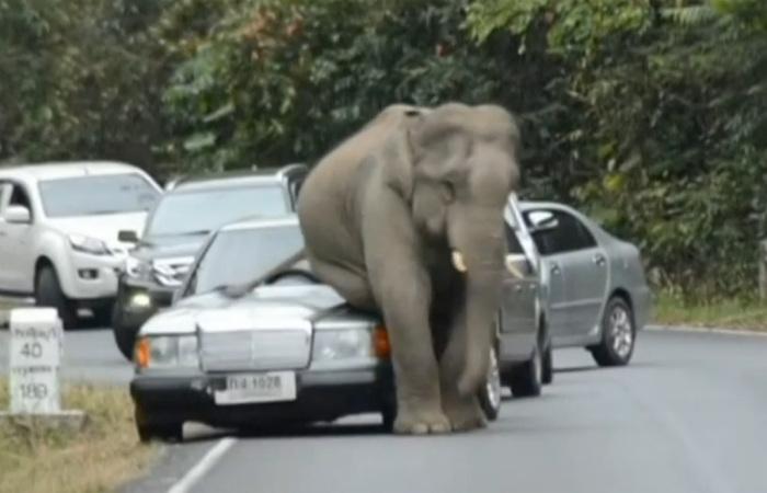 Необычное ДТП: слон и автомобиль.