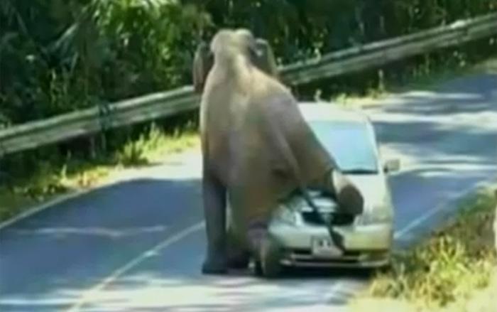 Слон на автомобиле.