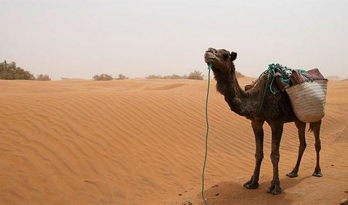 Google и верблюды.