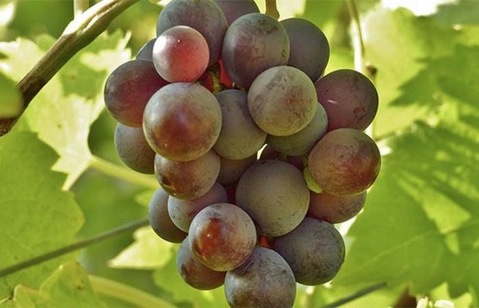 Взрывоопасный виноград.