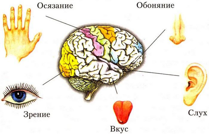 Лженаучный факт: пять органов чувств.