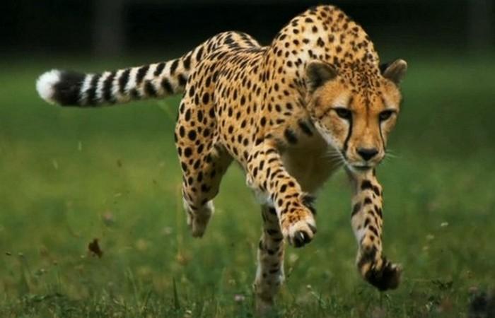 Гепард.