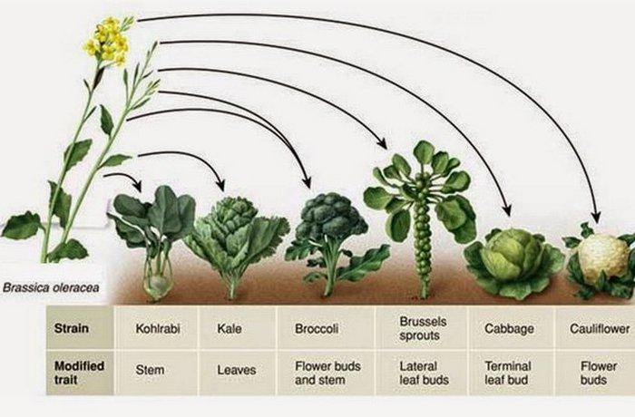 Генетически модифицированная древними капуста.