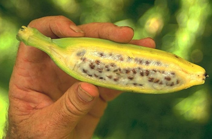 Генетически модифицированные древними бананы.