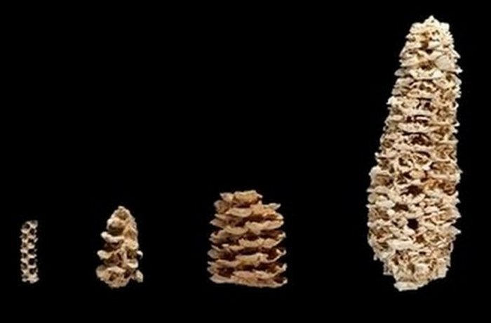 Генетично модифікована стародавніми кукурудза.