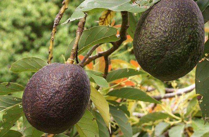 Генетически модифицированный древними авокадо.