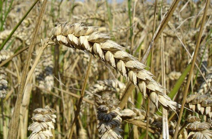 Генетически модифицированная древними пшеница.