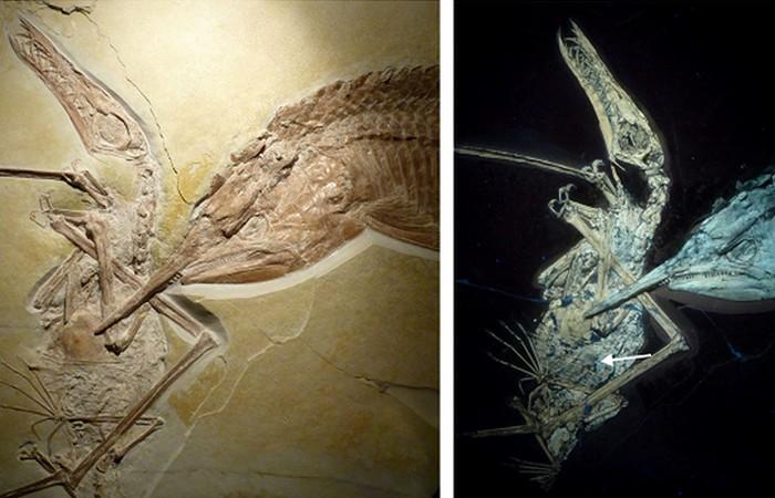 Древняя окаменелость: aspidorhynchus и птерозавр.