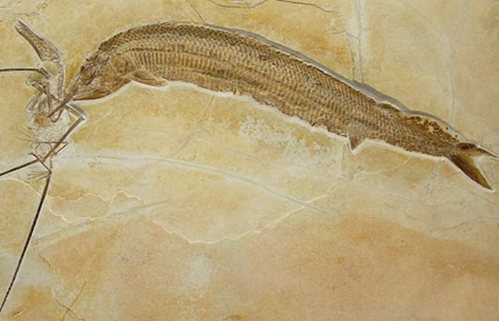 Древняя окаменелость: птерозавр и aspidorhynchus.
