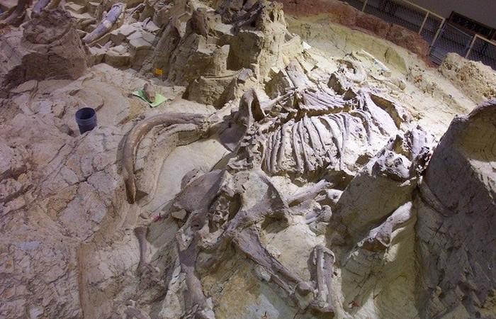 Древняя окаменелость: четыре бивня.