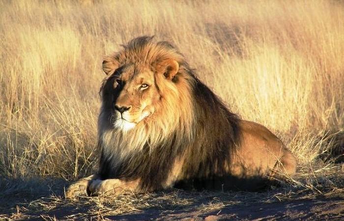 Полнолуние и львы.