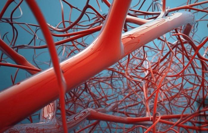 Кровеносные сосуды.