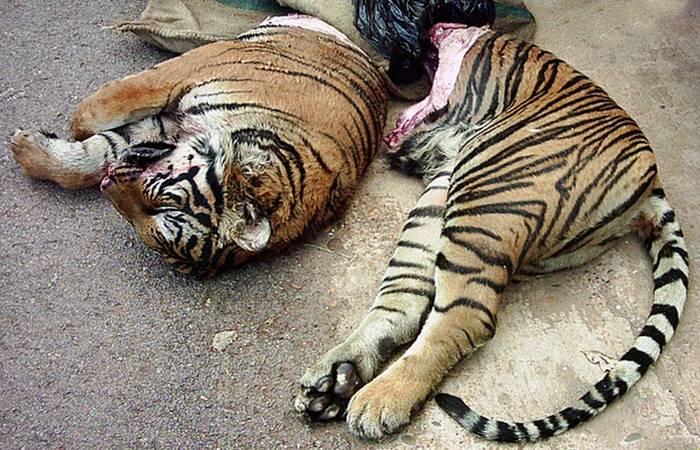 Товар черного рынка: тигриные органы.