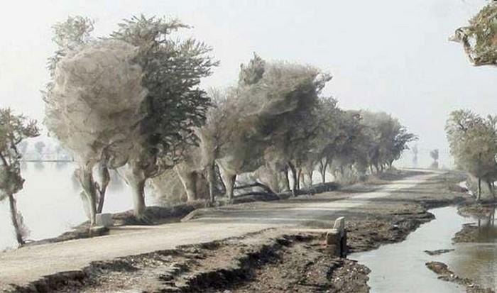 Невероятное природное явление: деревья-коконы.