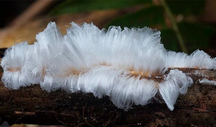 Невероятное природное явление: «ледяные волосы».