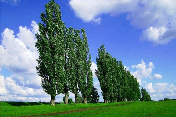 Тополь красивый, но вредоносный. |Фото: o-flora.com.