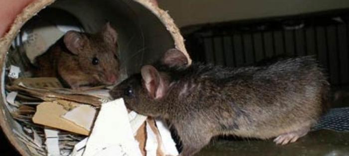 Крыса и мышь - опасные соседи. |Фото: rcge.by.