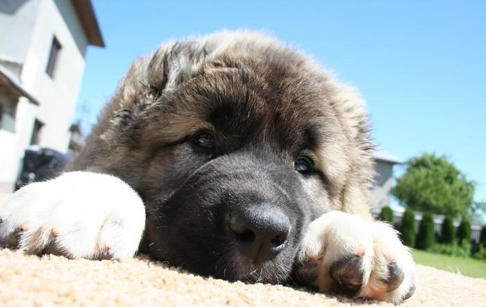 Собака нуждается в воспитании.  Фото: sobaki.pro.