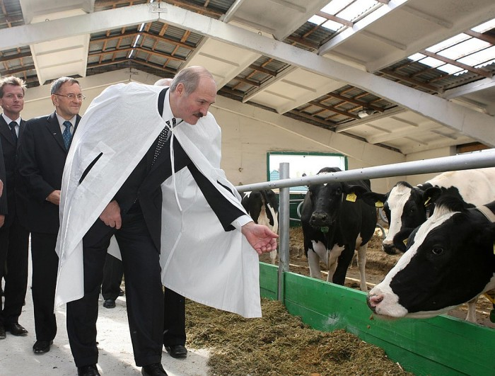 В Беларуси коров оденут в подгузники. |Фото: nnov.kp.ru.