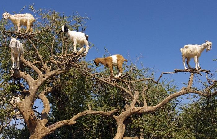 Нет, не кажется, это козы на дереве.