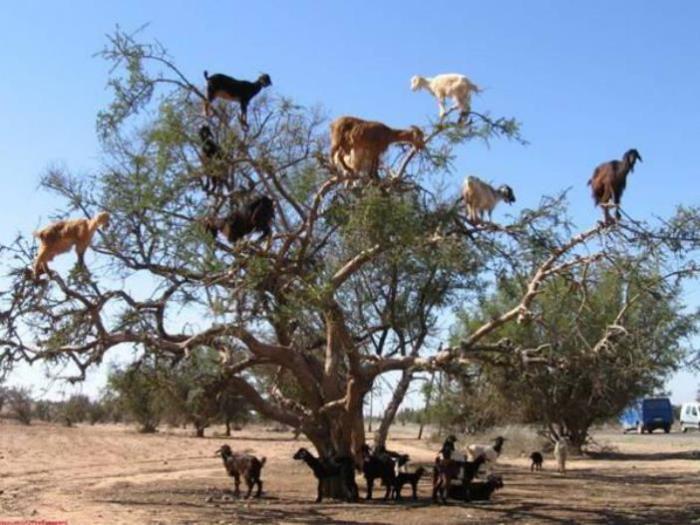 Парнокопытные на дереве это не шутка.
