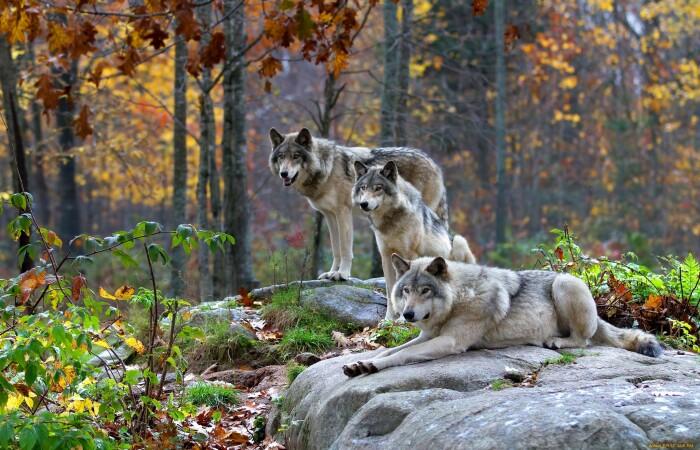 Волк - зверь серьезный. |Фото: fishki.net.