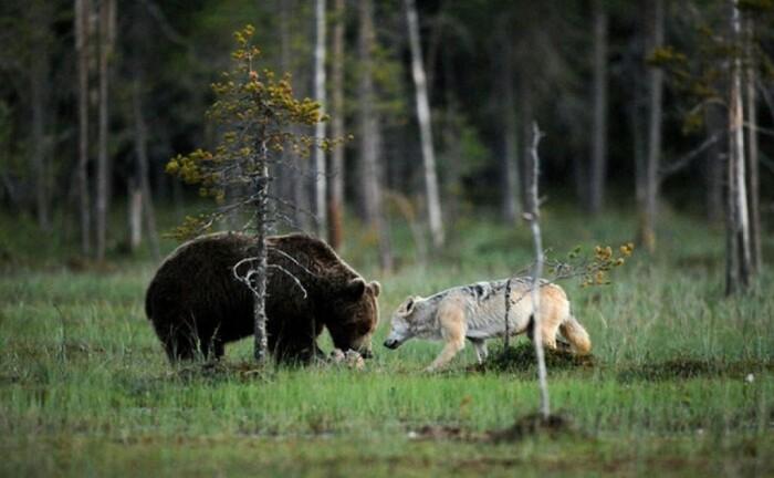 Медведи объедают волков и иногда на них нападают. |Фото: sovet-ok.ru.