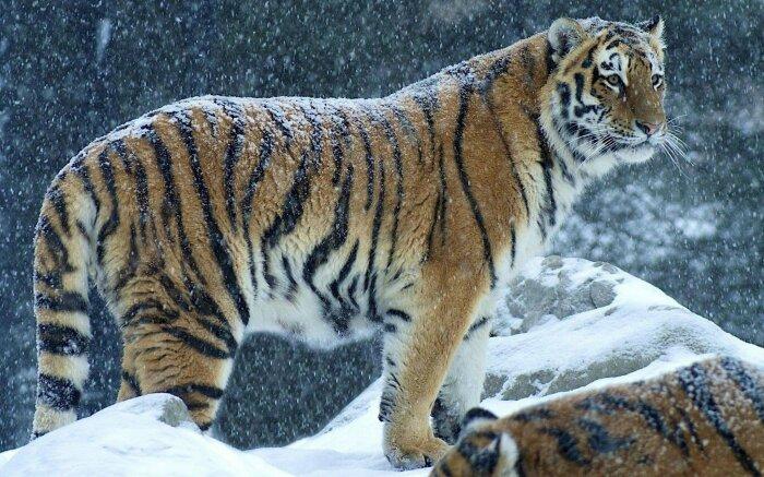 Альфа-хищник тайги. |Фото: w-dog.ru.