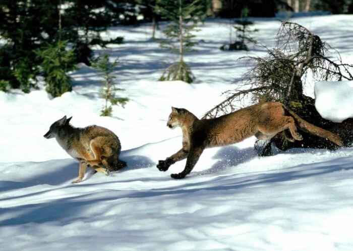 Для горных львов волки - добыча. |Фото: my.mail.ru.