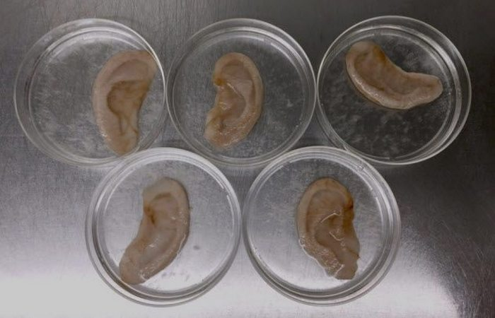 Выращено в лаборатории: «яблочные уши».