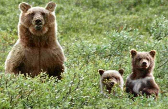 Милые медвежата.