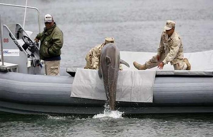 Дельфины-диверсанты.