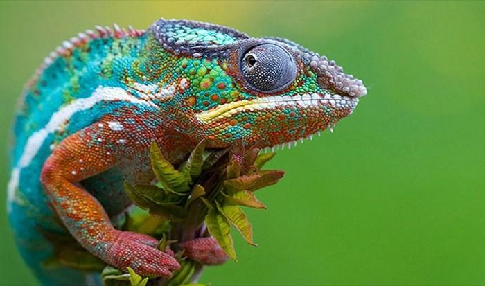Полная чушь: хамелеоны меняют свой цвет для маскировки.