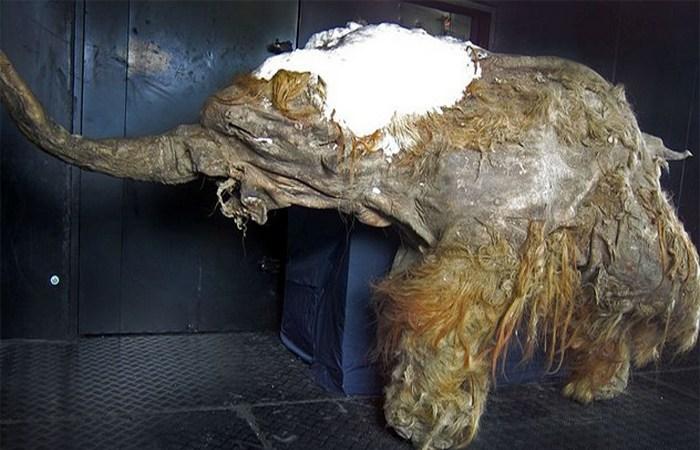 Мумия мамонта.