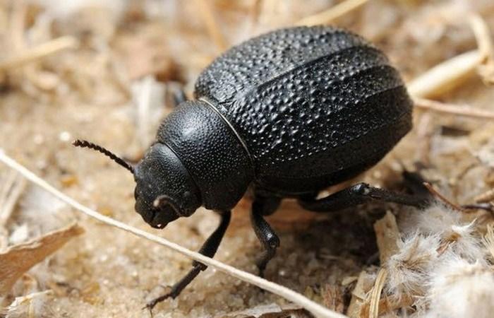 Приспособление для сбора воды: намибийский жук.