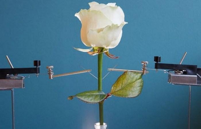 Киборг-цветок: роза.