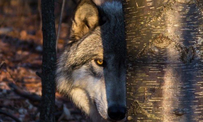 Волк зверь очень осторожный.  Фото: yandex.by.