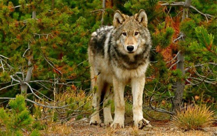 Волки зверь опасный.  Фото: slickpic.com.