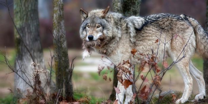 Человека волк воспринимает, как опасность.  Фото: 1zoom.ru.