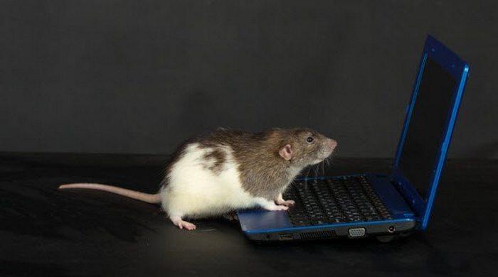 Возмутительный эксперимент: крыса с контролируемым интеллектом.
