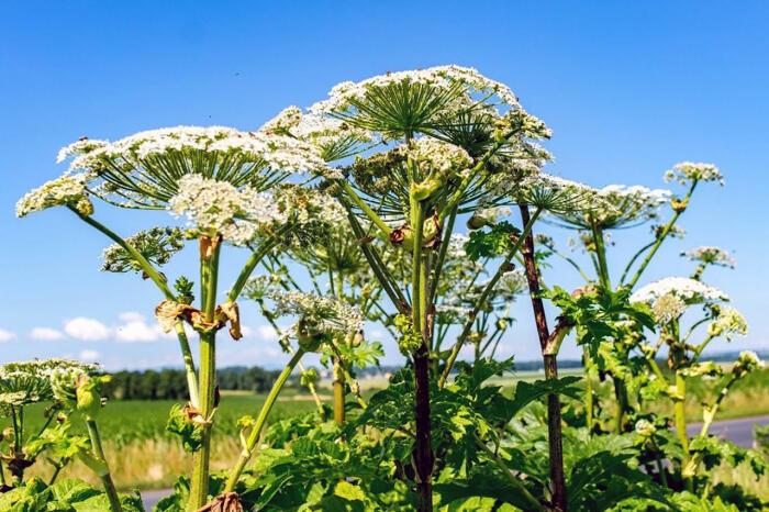 Сорняки нужно уничтожать. |Фото: dneprovec.by.
