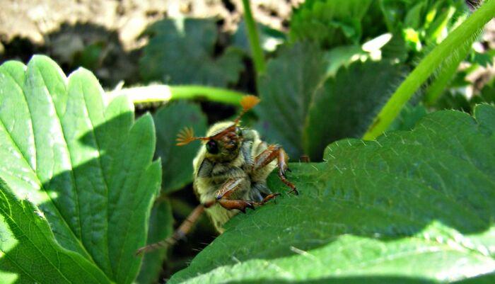 Майский жук - враг. И не только он. |Фото: komotoz.ru.