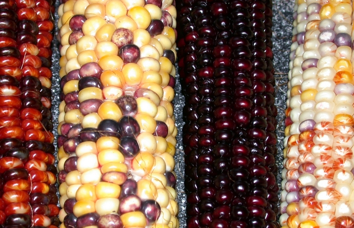 Знакомтесь - кукуруза.