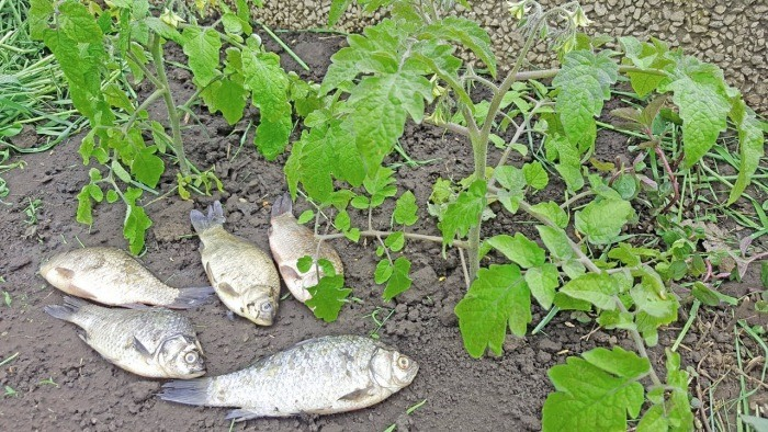 Рыба однозначно подходит. ¦Фото: otomatah.ru.