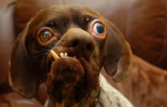 Нелепый запрет на создание уродливого вида морды у собаки.