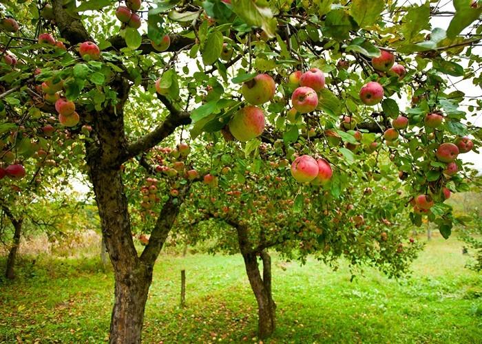 Закон штата Оклахома о «фруктовых садах».