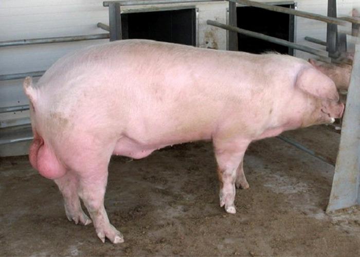 Закон штата Алабама о «сперме свиней».