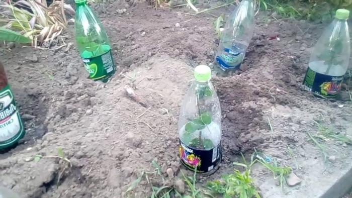 Останется накрыть розу бутылкой и полить. |Фото: cveti-rasteniya.ru.